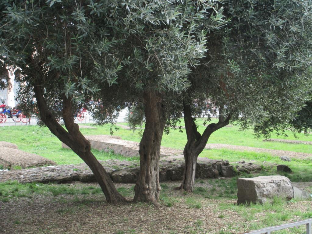 Olivenbäume am Kolosseum